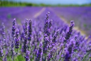 sleep well with lavender essential oil recipes