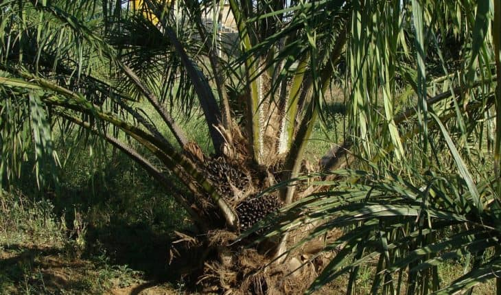 oil palm tree and fruits
