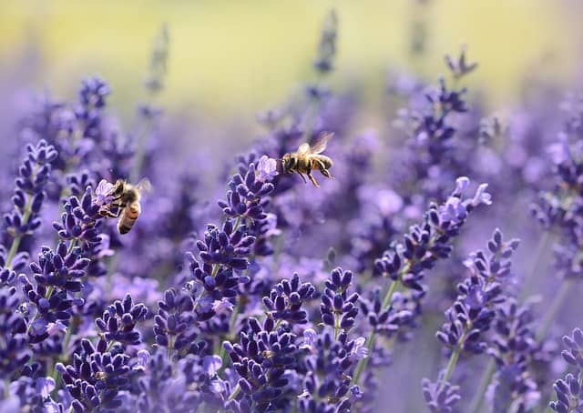 lavender plants with a bee