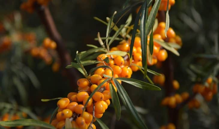 sea buckthorn berries on branch