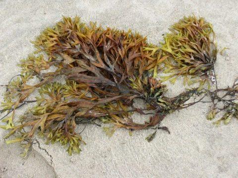 seaweed on beach